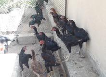 عرض مؤقت ديوك ودجاج تايلندي