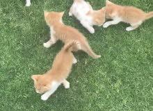 قطط مكس شيرازي و برتش