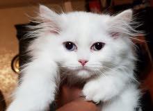 قطة شرازي هاف بيكي لونج هير