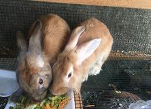 زوج أرانب هولنديه