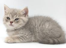 Pure British Shorthair Kittens for Sale