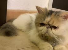 pure Persian cat قطة فارسية بيور
