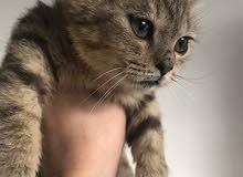 للبيع قط شيرازي مكس عمر 3 أشهر ونصف لون مميز