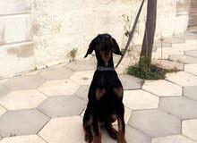 كلب دوبرمان للبيع عمر اربع شهور وارد اوكرانيا