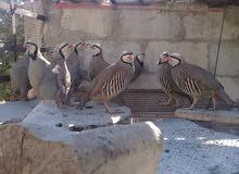 طيور حجل  للبيع الجوز ب16 دينار