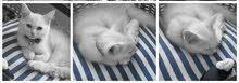 قطه للبيع -Cat for sale