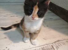 قطط صغار شيرازي عمر شهرين