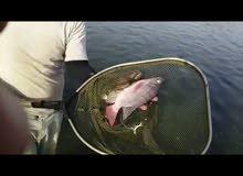 للبيع سمك بلطي حي او طازج جملة