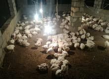 دجاج للبيع