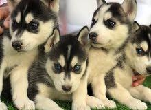 كلاب هاسكي للبيع