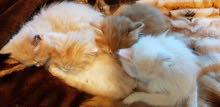 قطط شيرازي مكس مع شانشيلا