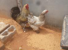 كوبية براهما للبيع او استبدال بي دجاج عربي