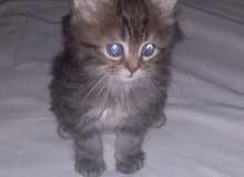 قطط شيراز المانى