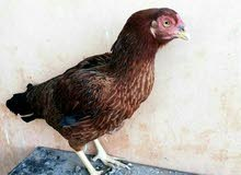 دجاجه باكستانيه