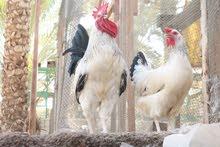 دجاج فرنسي كولمبي بيور و سمان سوبر جامبو