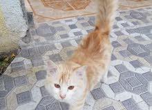 قطة مفقودة في نزوى
