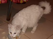 قطه فارسيه للبيع حامل