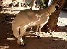 خروف كباشي