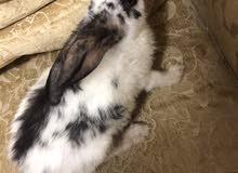 ارانب للبيع rabbits for sale