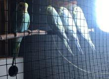 طيور الحب للبيع نوع ريمبو عدد اربعة واثنان هولنيد عيون حمر واوبلاين وباندد