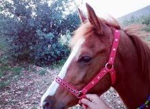 حصان عمر 7شهور ونص تب نظافه