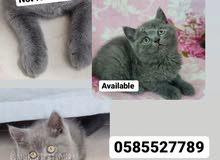 Scottish fold & pure breed british kittens in dubai by german breeder