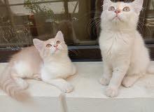 قطط(ذكر) مع دفتر تطعيمات