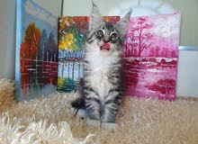 Maine coon kitten with pedigree 8000dhs fixed price