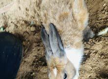أرانب  جميله ذكور واناث العدد 5