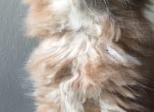 قطة شيرازى للبيع عمرها شهرين
