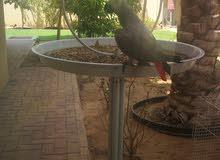 ببغاء grey parrot للبيت