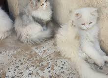 قطط تشيرازي