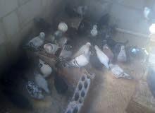 حمام بلدي شغال مع بيضه للبيع او لبدل على جاج