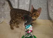 Bengal kitten