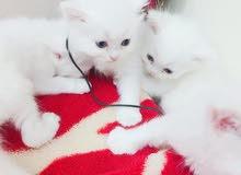 قطط كيتين