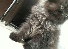 قطه انثى شيرازي هاف بيكي