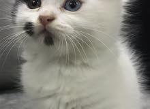 قطوة شيرازي
