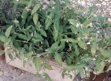 نباتات زينه
