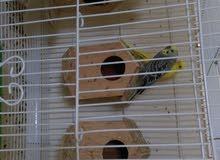 للبيع 5 حبات طيور البادجي الوان متميزة بالشبك ذكور واناث