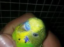 عصافير طيور حب