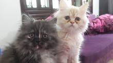 قطط شانشيلا مكس هملايا