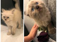 Urgent Sale Pure Himalayan cats 2 left only