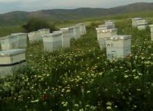 بيع جميع أنواع العسل الحر وخلايا النحل ولوازمه