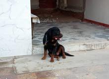 كلب رود فايدر