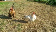 دجاج سيرما