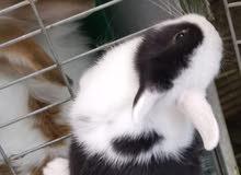 انثى ارنب نذرلاند دوراف النادر للبيع بعمر شهر