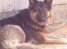 كلاب روأسي عمرها سنه في بطنها جروي من كلاب اماني