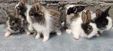 ارانب قزم dwarf rabbits