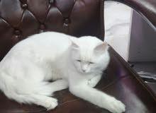 قط شيرازي لعوب ولطيف بصحه جيده عمره 5 أشهر