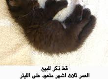 قطة شيرازيه للبيع النوع مون فيس بسعر حلو